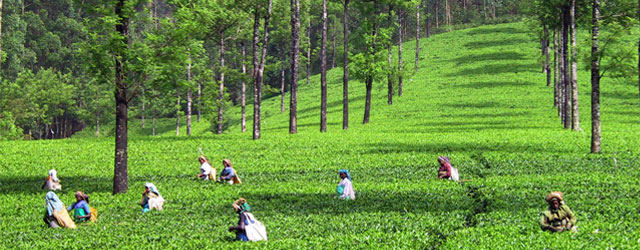 tea-pickers