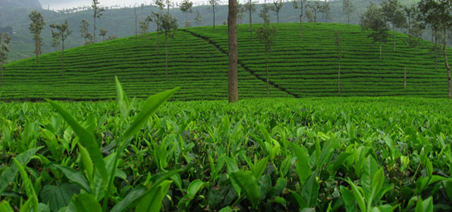 tea-plants