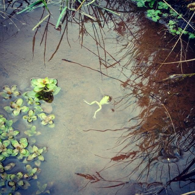 table mtn frog